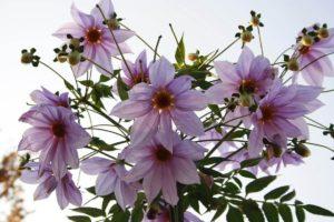 塙町の花 ダリア