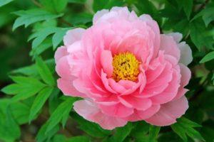 飯南町の花 牡丹
