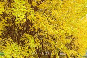 広川町の銀杏並木