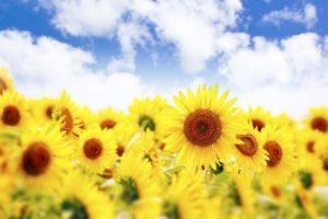 小竹町の花 ひまわり