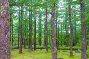 篠栗町の木 スギ