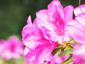 垂水市の花 ツツジ