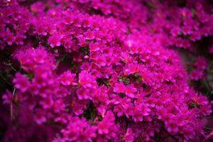 高原町の花 キリシマツツジ