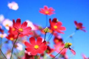 時津町の花 コスモス
