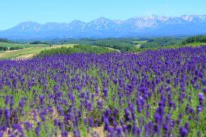 ラベンダー畑と十勝岳