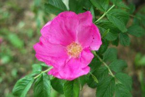 聖籠町の花 ハマナス