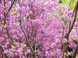 長野原町の花 ムラサキツツジ