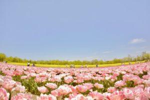 胎内市の花 チューリップ