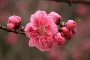 刈羽村の花 桃
