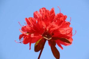 伊万里市の花 ツツジ