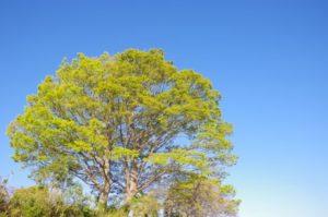 出雲崎町の木 ケヤキ