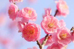益城町の花 ウメ