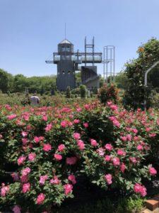 カントリーパークの薔薇