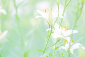 飯豊町の花 ユリ