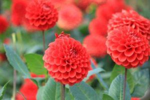 川西町の花 ダリヤ
