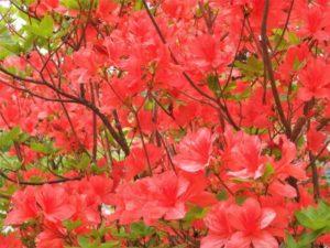 厚真町の花 ヤマツツジ