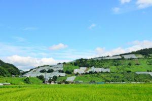 高畠町のぶどう畑