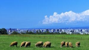 めん羊の放牧 士別市