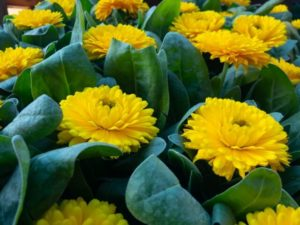 白糠町の花 キンセンカ
