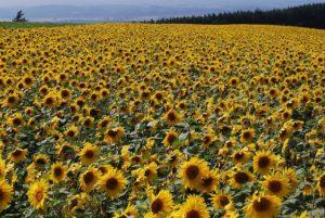 朝日ヶ丘展望台のひまわり畑