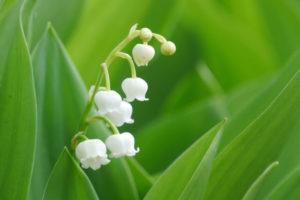 士幌町の花 スズラン