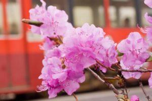 訓子府町の花 エゾムラサキツツジ