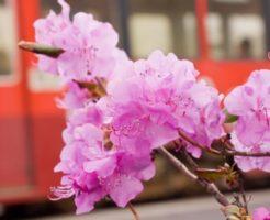 本別町の花 エゾムラサキツツジ